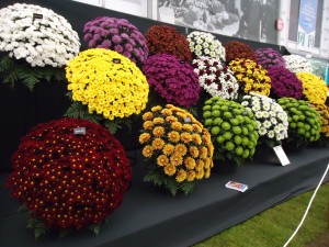 colors of mums